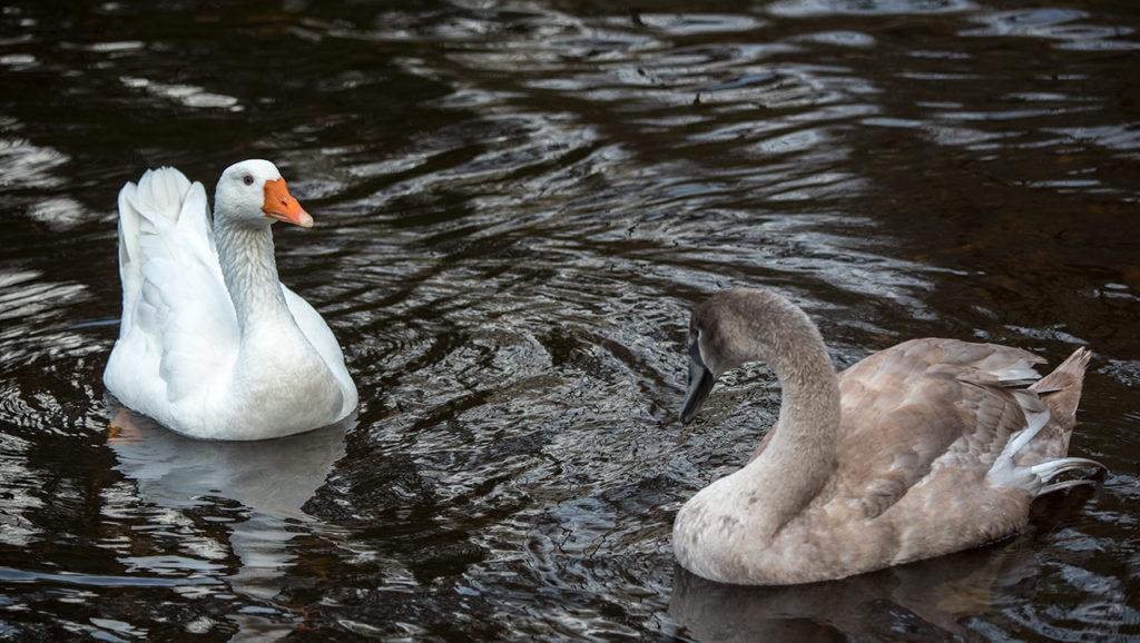 Gåsen er kjappere i vendingen enn svanene, og snapper ofte brødbitene først.