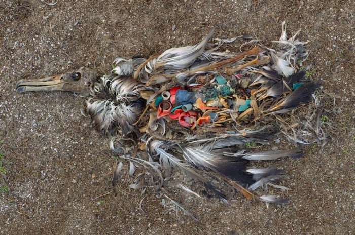 Død altbatross fotografert på Midway atollet. Foto: Chris Jordan / Smitsonian