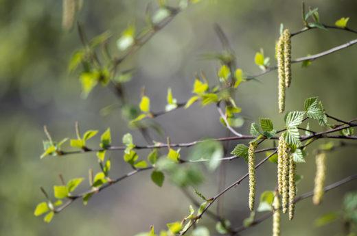 Bjørken blomstrer på Foldøy.