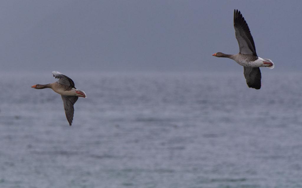 Gjess glir over sjøen på brede og sterke vinger.