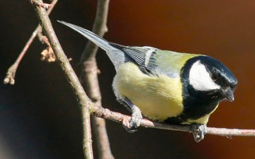 Kjøttmeisene er en av de vanligste fuglene på fuglebrettet.